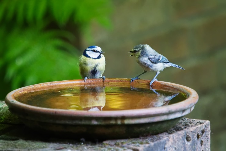 Two yellow sparrows with white faces and black markings perched on a shallow water dish. One seems to be talking to another.