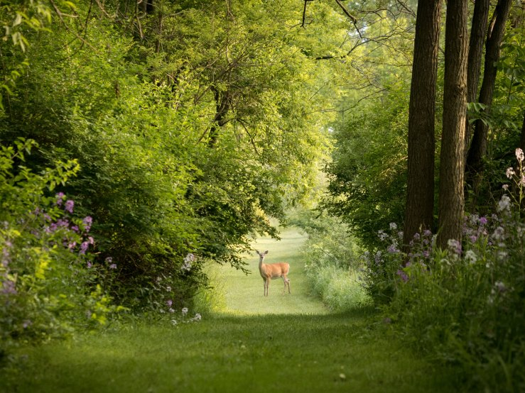 distant deer in middle of green forest path