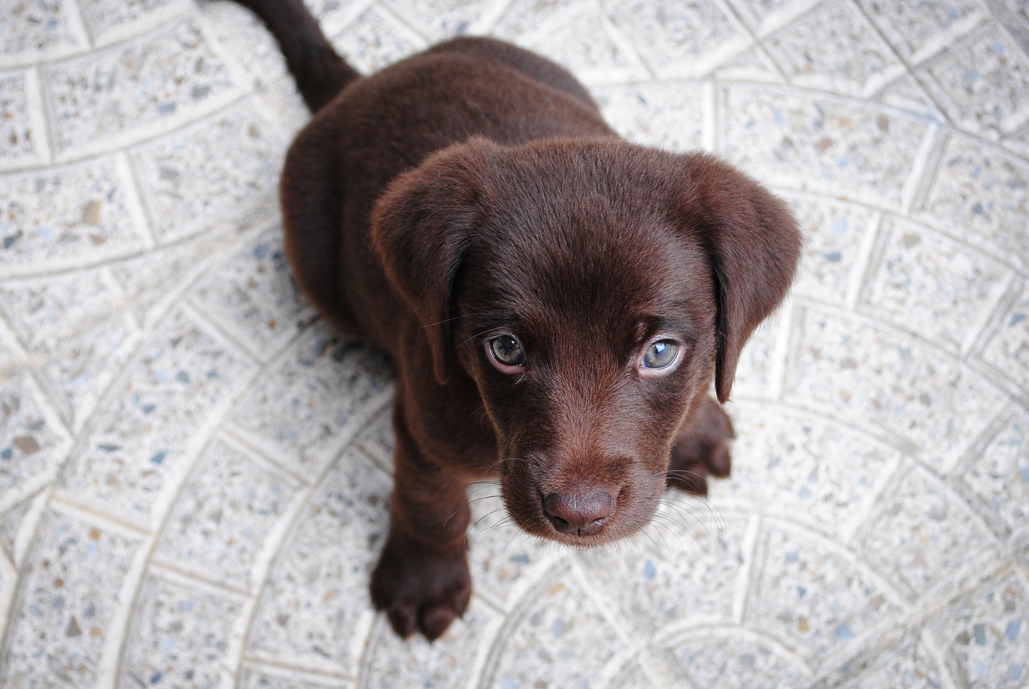 chocolate lab puppy sitting on light gray circular tile floor looking up at camera