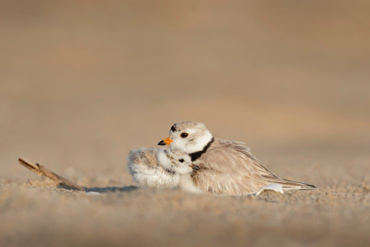 Adult brown and white bird with orange beak and black neck ring cuddling baby bird on the sand