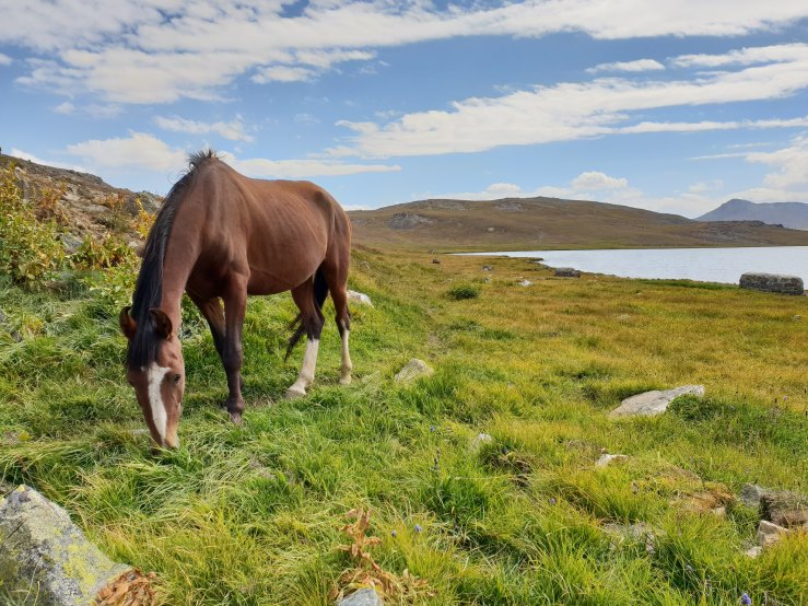 Dark brown horse with white forehead and hind feet grazing on long, waving grass with medium-sized rocks around. Low hills and lake in background. Blue sky with stratus clouds above.