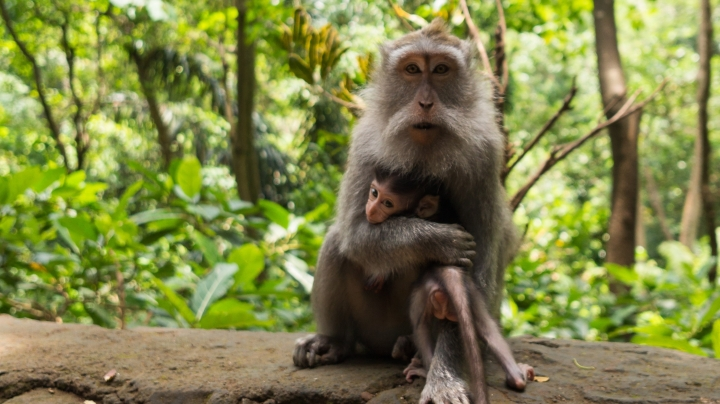 A bearded primate holds its baby to its chest. They sit on a rock wall with a jungle in the background.