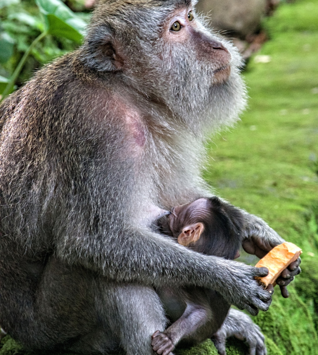 baby primate nursing from its mother