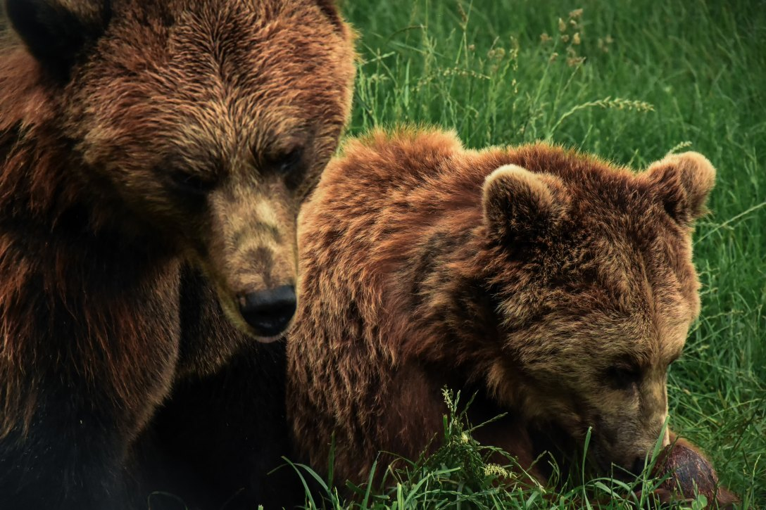 parent and baby grizzly bears against grass background