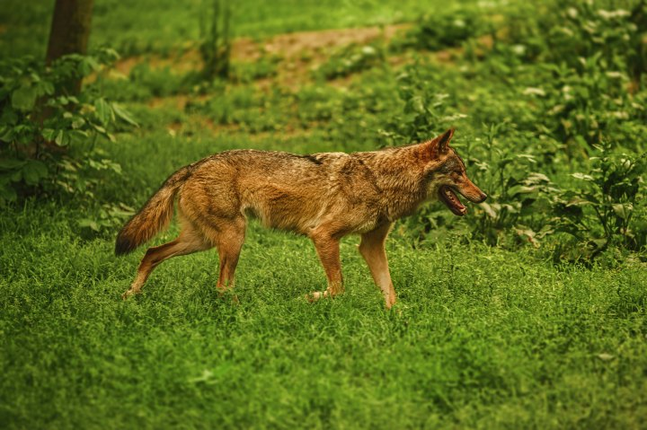 brown wolf in green forest, side view