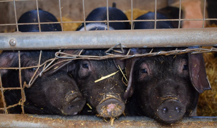 Three dark brown hogs sticking their faces out of a wire pen.