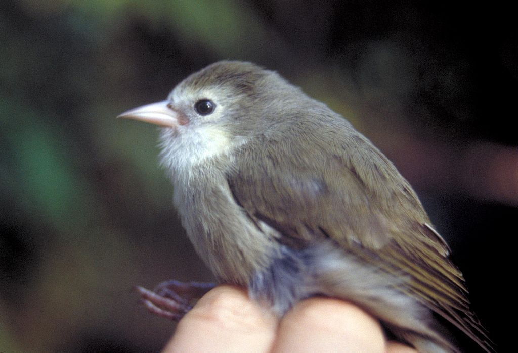 small brown finch with light pink beak being held upright by its legs