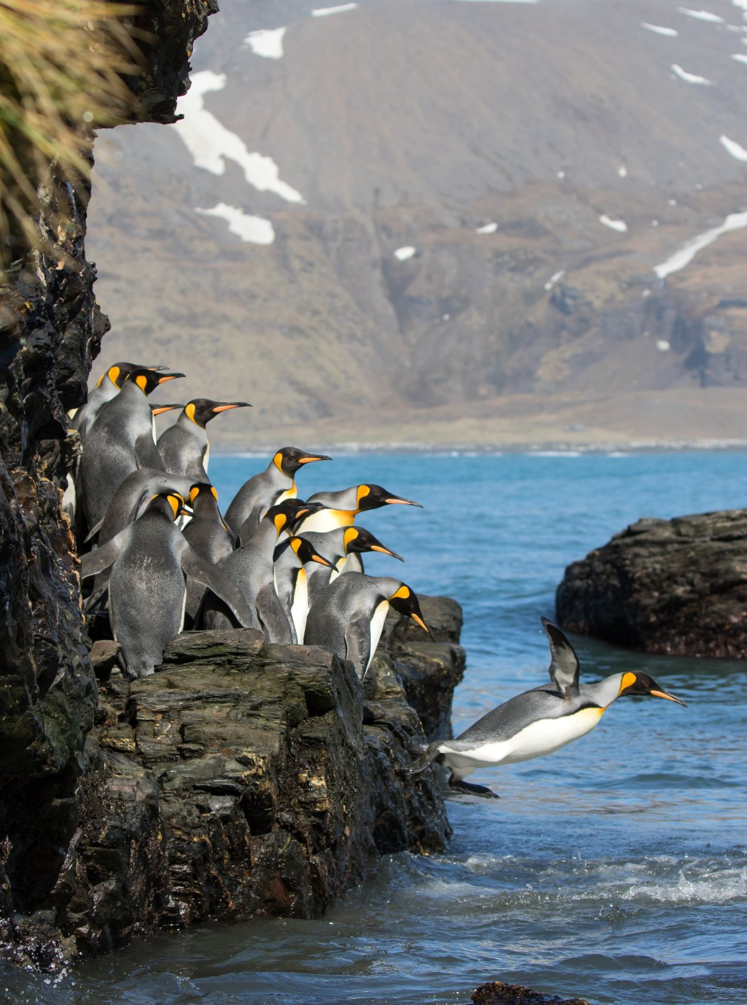 penguins waiting to jump off rock into ocean