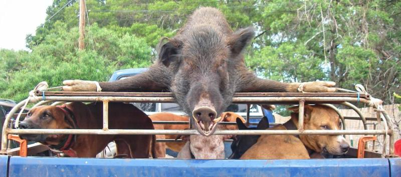dead pig tied to top of cage on pickup truck bed with five hunting dogs in the truck