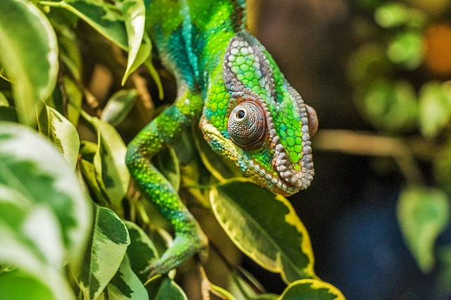 green speckled Jackson Chameleon climbing down plant