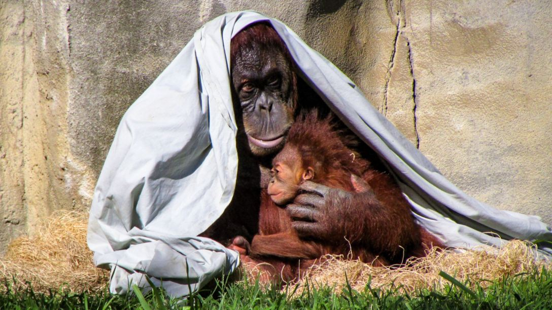 Orangutan cuddling baby orangutan with blanket thrown over adult's head