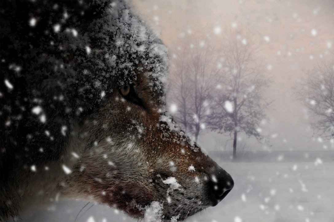 brown wolf head side view covered with snow